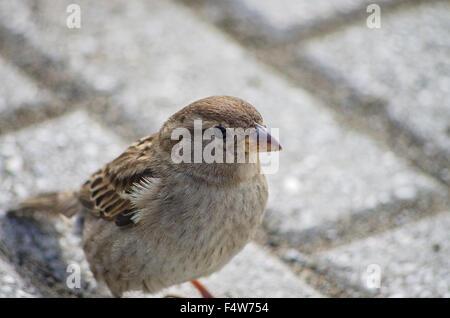 Sparrow buscando algo para comer cerca de casa interna