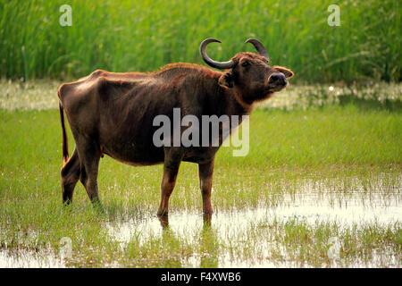 Búfalo de agua (Bubalis bubalis), hembra adulta, de pie en aguas poco profundas, Parque Nacional Bundala, Sri Lanka