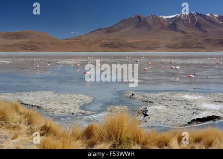 Laguna Hedionda con flamencos de james (Phoenicoparrus jamesi), en Uyuni, lipez, bolivia