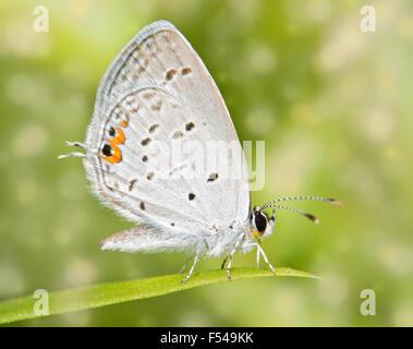 Imágenes de ensueño de un diminuto cola Oriental mariposa azul descansando sobre una brizna de hierba Foto de stock