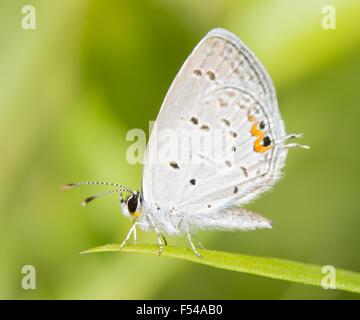 Diminutivo de cola Oriental mariposa azul descansando sobre una brizna de hierba contra el fondo verde de verano Foto de stock