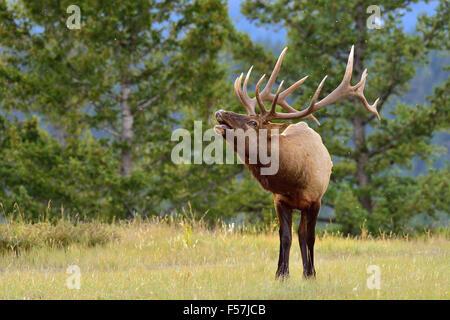 Una imagen horizontal de un gran bull elk Cervus elaphus; llamando a atraer una hembra