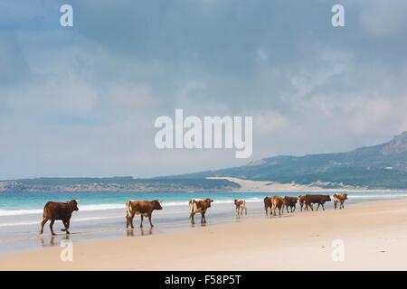 Grupo de vacas, caminando por la playa. Bolonia, Tarifa, Costa de la Luz, Huelva, Andalucía, sur de España.