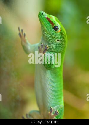 Un macho day gecko de Madagascar (Phelsuma madagascariensis madagascariensis) en vidrio transparente.