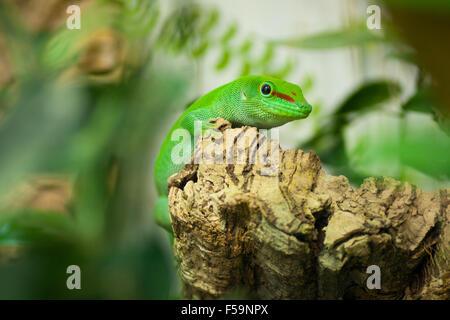 Un macho cautivo day gecko de Madagascar (Phelsuma madagascariensis madagascariensis) .