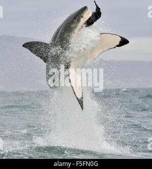 Gran Tiburón Blanco (Carcharodon carcharias) infracción en un ataque.
