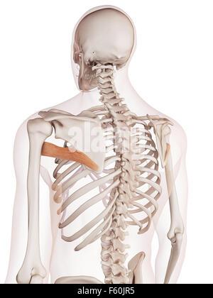 Ilustración del músculo redondo mayor Foto & Imagen De Stock ...