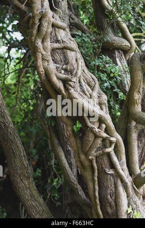 Grande, viejo, grueso, estrangulando, hermanada, enredados, hiedra, Hedera helix, tallos alrededor del trruck de gran espino, Berkshire,