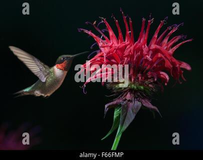 Ruby macho-throated Hummingbird (Archilochus colubris) En Bee Balm Foto de stock