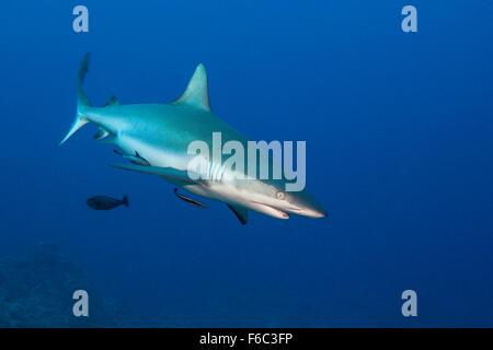Tiburón gris de arrecife, Carcharhinus amblyrhynchos, la Gran Barrera de Coral de Australia