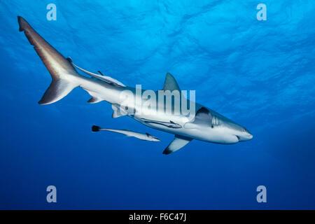 Tiburón gris de arrecife, Carcharhinus amblyrhynchos, Osprey Reef, Mar del Coral, Australia