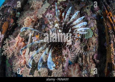 Un pez león (Pterois volitans) nada sobre una coloridos arrecifes en las Islas Salomón. Esta parte de la Melanesia es conocida por su alta mari