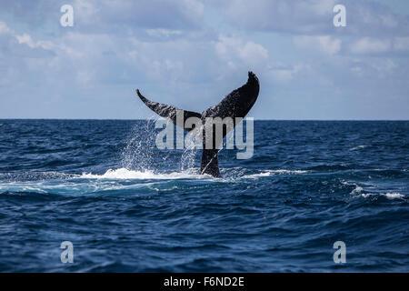Una ballena jorobada (Megaptera novaeangliae) bofetadas su enorme cola sobre la superficie del océano Atlántico. ¿Por qué estas enormes ballenas, WH