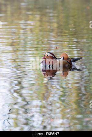 Pato mandarín (Aix galericulata) macho (drake). La especie es nativa de Asia, pero las razas ferally en partes de Europa y Gran Bretaña.