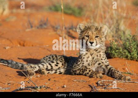Cheetah cub acostado con su cabeza levantada sobre una duna de arena en el Parque Transfronterizo Kgalagadi Foto de stock
