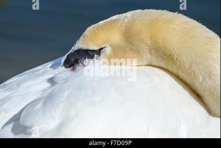 Cisne Blanco adulto (Cygnus olor) apoyado sobre el borde del agua con los ojos cerrados en la primavera en el Reino Unido.