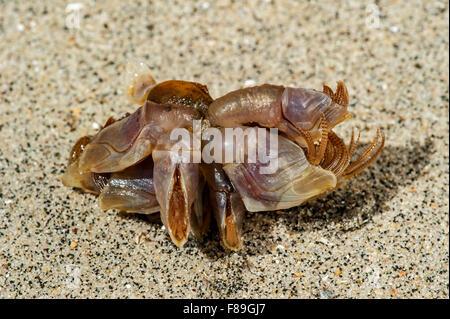 Percebes azul / boya barnacle / azul acechado percebe (Lepas fascicularis / Dosima fascicularis) lavados en la playa