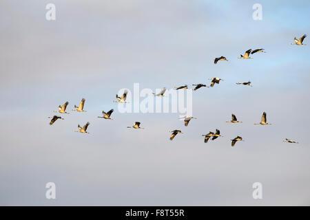 Grulla común (grus grus) Grey en vuelo en luz del atardecer, Lac du Der, Haute Marne, Francia.