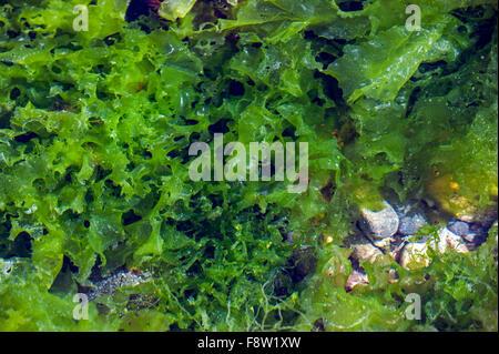 La lechuga de mar (Ulva lactuca) en el grupo de rock