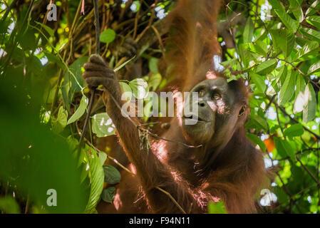 Orangután borneano noreste (Pongo pygmaeus morio). Mujeres adultas forrajeras en el Parque Nacional de Kutai, Indonesia.