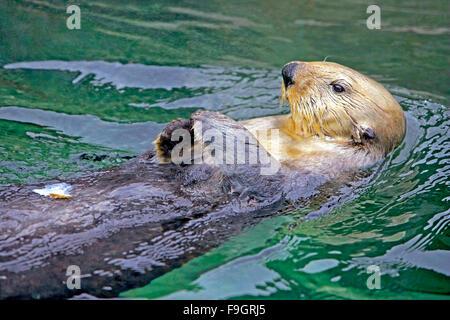 Nutria de mar nadando en su espalda, relaxied