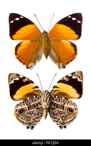 Esmirna Blomfildia butterfly como encontrados en el Perú, el nombre inglés Blomfild belleza, una especie de la familia Foto de stock
