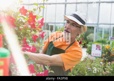 Jardinero macho mirando planta en invernadero, Augsburgo, Baviera, Alemania