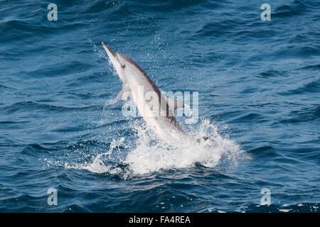 Hawaiian/grises, Delfines, Stenella longirostris, spinning, Maldivas, Océano Índico.