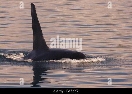 Killer Whale residente del Norte A38 aflora en el sonido Blackfish frente al norte de la isla de Vancouver, Canadá
