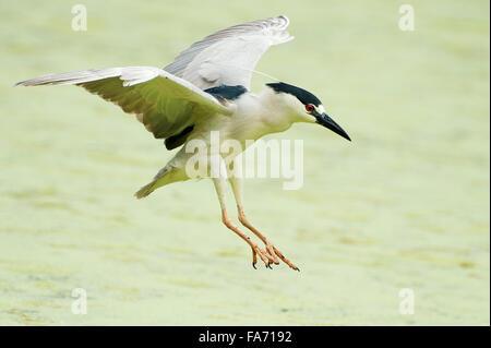 Negro adulto coronó la noche heron aterrizando en el estanque de verano
