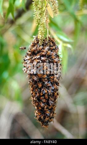 """Un enjambre de abejas colgando de una rama del árbol cluster juntos para conservar el calor durante el invierno en California, Estados Unidos. Estos son abejas masculinas (llamados zánganos) que normalmente viven en la colmena durante la primavera y el verano. Una importante mortandad de oeste de abejas (Apis mellifera) en América del Norte desde el año 2006 ha sido denominado """"Trastorno de colapso de la colonia"""", pero no hay una causa específica para el descenso ha sido determinado. Esta reducción de la población de abejas melíferas ha causado una pérdida creciente de productos agrícolas que dependen de la polinización por las abejas."""