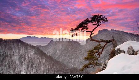 Solo solo pino en el Parque Nacional Pieniny Sokolica acantilado al atardecer, Polonia