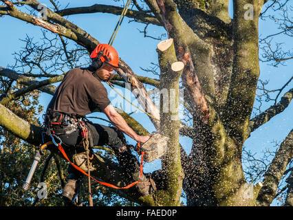Tree Surgeon colgando de cuerdas en un árbol con una motosierra para cortar las ramas hacia abajo. Motosierra tiene el aserrín y molida a su alrededor.