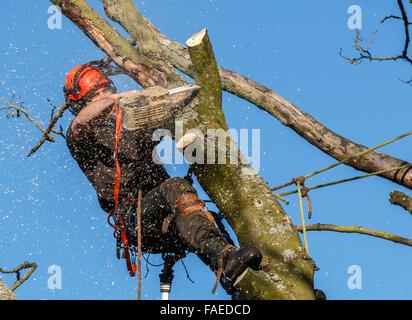 Motosierra en uso por un cirujano de árbol en lo alto de un árbol talado. Aserrín y molida están volando. Una rama del árbol árbol está siendo cortada con una motosierra