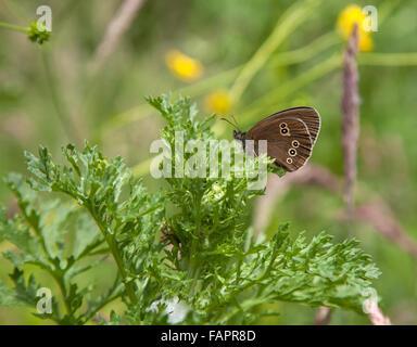 Aphantopus hyperantus Ringlet mariposas en la campiña inglesa en Delamere Forest Cheshire, Inglaterra