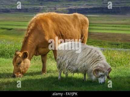 Los jóvenes vaca y oveja son libres para moverse y pastan sobre hierba, granja, Nordurardalur Hraunsnef Valle, Islandia