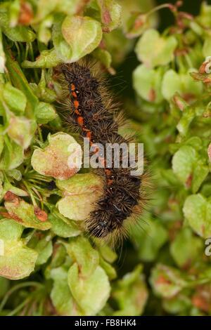 Nudo de luz, Caterpillar, hierba, Fieberklee-Sumpfeule Heidemoor-Rindeneule, Raupe, Acronicta menyanthidis, Apatele menyanthidis