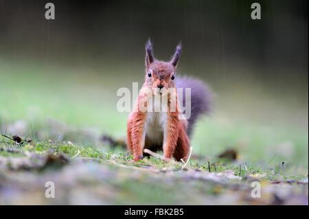 Ardilla roja (Sciurus vulgaris) en ouring lluvia, mirando directamente a la cámara, en el jardín de césped, en el valle de Newlands, cerca de Keswick