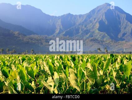 La reflexión de Taro plantas en valle de Hanalei en Kauai con las montañas de Na Pali en el fondo