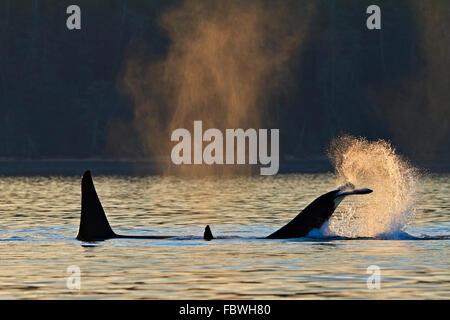 Transitoria de las orcas (Orcinus orca, orca, T30's & T137's) después de matar a un león marino off Malcolm Isla cerca de Donegal Cabeza, Brit