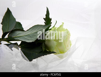 Rosa verdoso