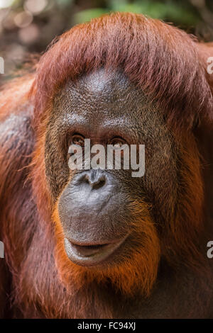 Hembra reintroducida orangután (Pongo pygmaeus), Camp Leakey, el parque nacional Tanjung Puting, Borneo, Indonesia, Sudeste de Asia