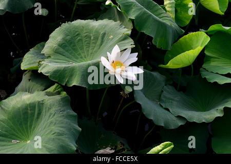 Una abeja vuela en un bocadillo en una flor de loto en flor