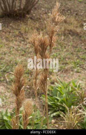 Bushy Bluestem, Andropogon glomeratus, pastos en invierno; Texas.