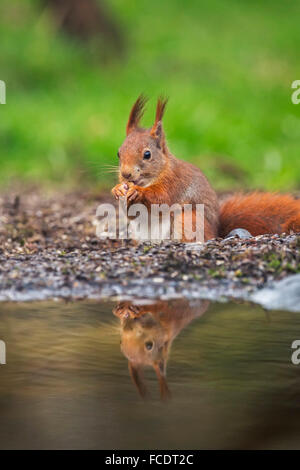 Países Bajos, 's-Graveland, 's-Gravelandse Buitenplaatsen, Finca Rural Hilverbeek. Eurasia ardilla roja (Sciurus vulgaris)