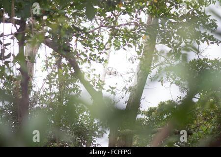 Ángulo de visión baja de Sloth Animal en el árbol en el bosque