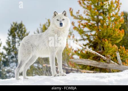 Lobo gris (Canis lupus) de pie en la nieve, mirando a la cámara, cautiva, Yellowstone.