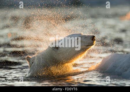 Canadá, Territorio de Nunavut, Bahía Repulse, el oso polar (Ursus maritimus) sacude el agua desde el barco mientras nadan en el mar de hielo cerca de H