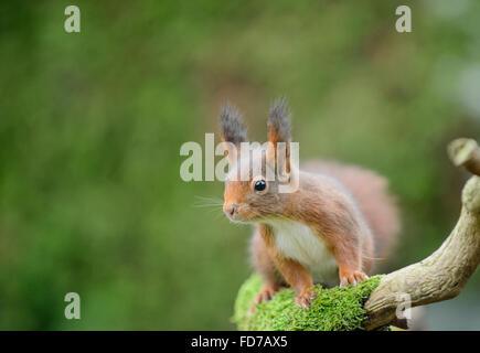 Ardilla roja con grandes penachos de oreja