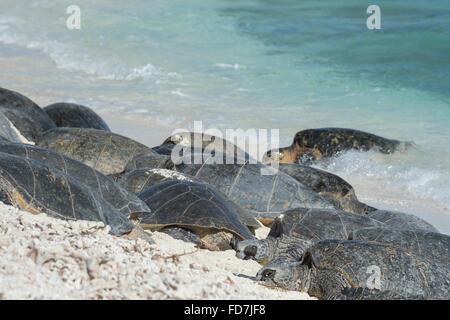 Tortugas marinas verdes, especies amenazadas ( Chelonia mydas ), tomar sol en la playa, una fragata francesa Shoals, en las Islas Hawaianas del Noroeste